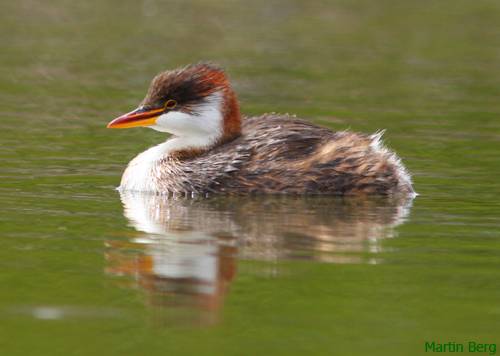 Titicaca Flightless Grebe