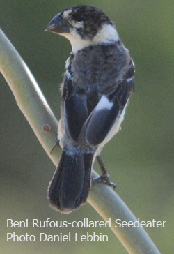 Beni Rufous-collared Seedeater