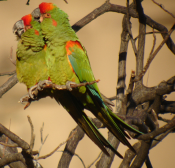 Red-fronted Macaw Jonathan Roussow