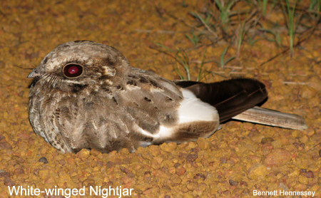 White-winged Nightjar